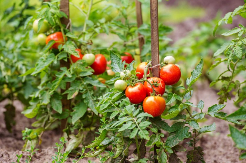 Fertilizing Tomatoes - How and When to Fertilize Tomatoes