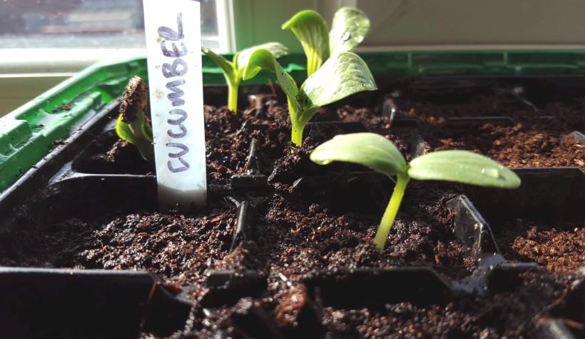 cucumber seeds growing